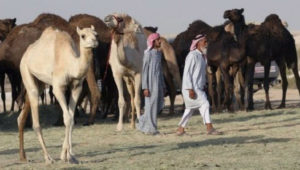 Qatar-animal-back-from-soudi-arab
