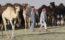 Qatar-animal-back-from-soudi-arab
